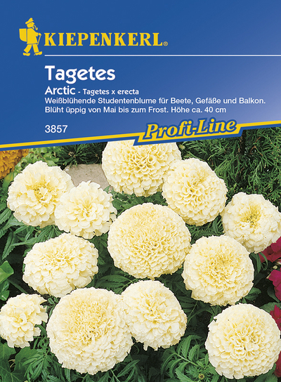 Tagetes erecta Arctic weiss